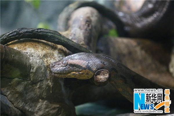 动物世界蟒蛇捕猎鳄鱼