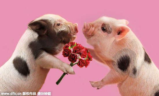 """导语:数字""""520""""谐音""""我爱你"""",因此5月20日这一天被赋予了一个美好的涵义,网友称之为""""网络情人节""""。就连小动物们也来凑热闹,纷纷秀起恩爱来! 当地时间2013年12月6日报道,位于英国贝德福德的宠物猪农场最近推出了一系列贺卡;卡上的主角是农场可爱的宠物猪仔们。养殖专家Paul Cocken从酷你酷你猪和越南大肚猪中精选出这些萌态十足的""""写真模特"""",然后教导它们摆出温馨动人的姿态进行拍摄。据悉这些宠物猪为了"""