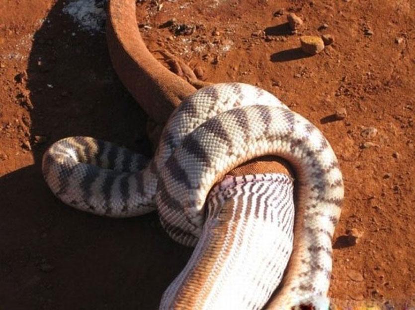 巨蟒吞食活蜥蜴; 饕餮巨蟒吞噬活蜥蜴全程;; 大蛇吞蜥蜴