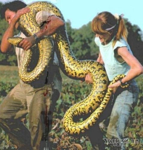 实拍世界上最大的蛇(组图)