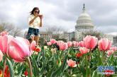 3月19日,在美国首都华盛顿国会山前,一名女子拍摄盛开的郁金香。 新华社/法新
