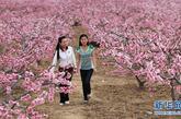 4月8日,在四川汉源县双溪乡申沟村万亩桃园,两位游客徜徉在桃林之中。新华社记者 江宏景 摄