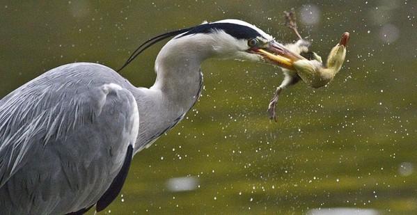 池塘惊现苍鹭偷猎小鸭子吞食场面