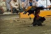 受到袭击的公鸡。