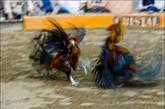 参加比赛的公鸡就像是一个个英勇的战士。