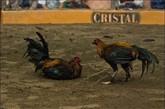 只有当其中一只鸡死亡,或丧失战斗能力,或两只鸡都精疲力尽,比赛才会结束。