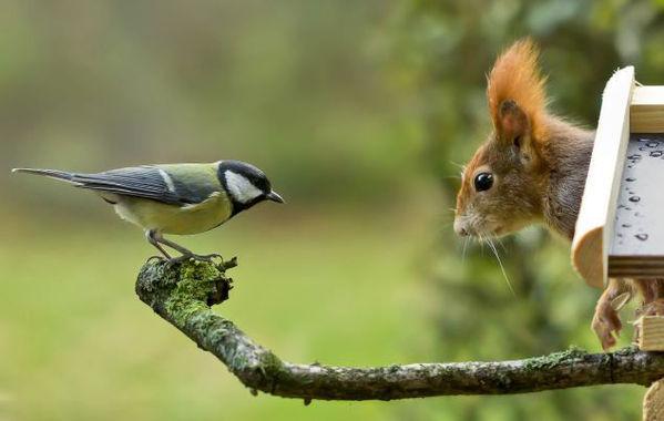蓝山雀遭松鼠枝头拦截终落荒而逃牛蛙皮肤病用什么药图片