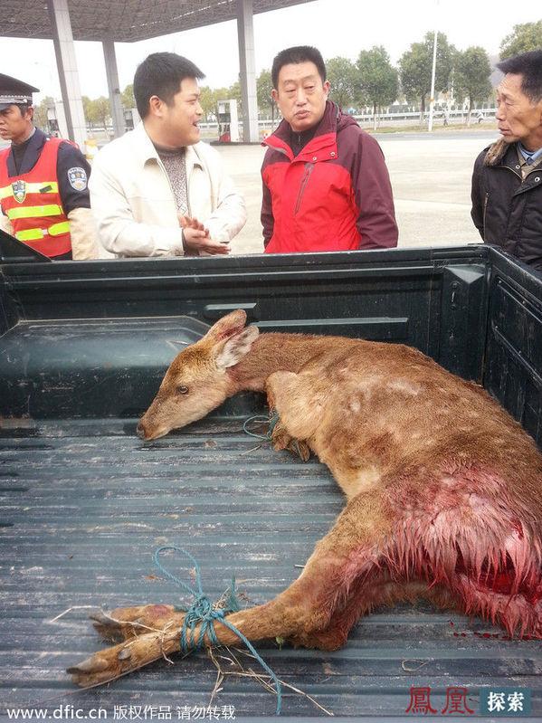 险的野生动物大战,4只疯狂的野狗正在撕咬1只落单的野生梅花鹿,图片