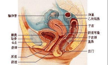高清组图:女性生殖系统解剖图
