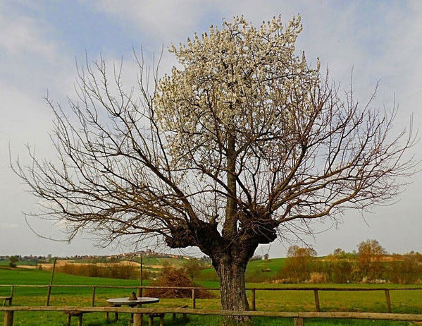 只是其中一棵长在另一棵顶部.-意大利神奇 双生树 樱桃树长在桑树图片
