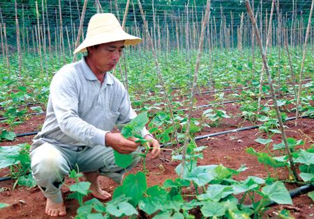 并扩大种植规模,调整种植结构,为冬季瓜菜打下了坚实的基础.