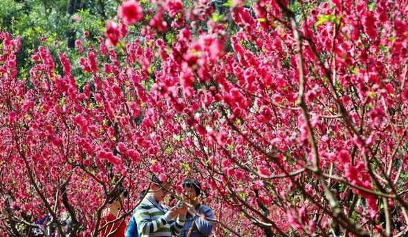 白云山里桃花盛开