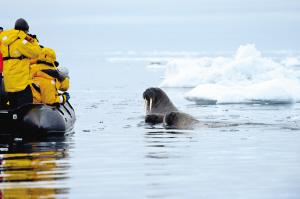 乘小艇观光的游客与海象近距离相会。