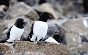 长得很像企鹅的厚嘴海鸦。