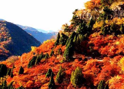 在阳光照耀下,那一株株枫树,黄栌,红果树,野葡萄如火如霞,而那一株株