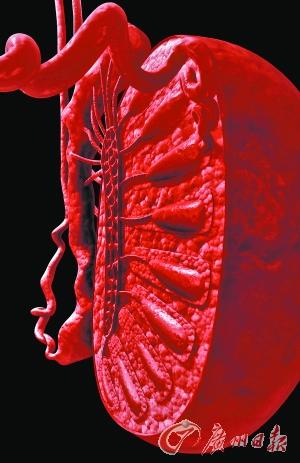 睾丸结构三维立体图.getty images供图