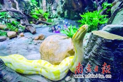 """为福蛇;最长最大的蛇种水蚺代表延年益寿,是寿蛇;机械蛇代表着""""皆大"""