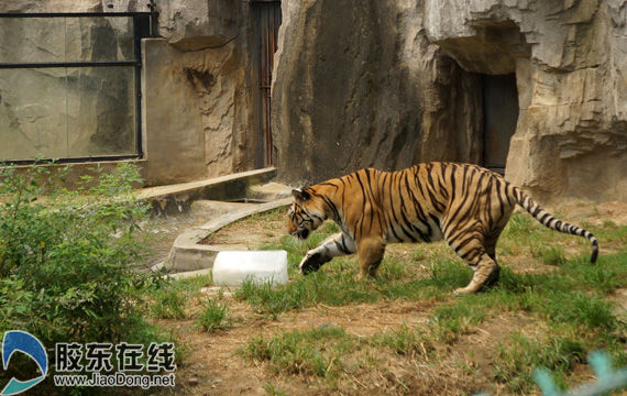 烟台动物园为动物物理降温 大熊老虎抱冰消暑