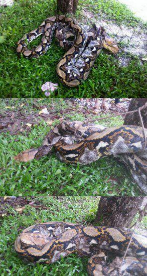 43公斤蟒蛇偷吃小猪被捉送予私人动物园饲养(图)
