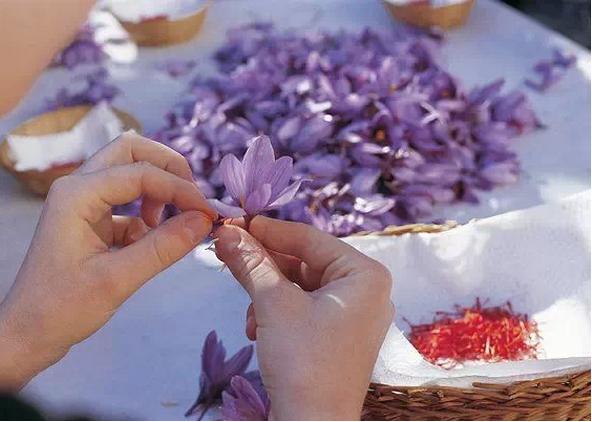 藏红花为健康生活保驾护航2