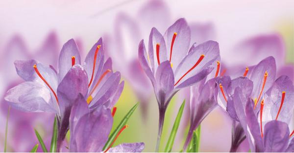 藏红花为健康生活保驾护航