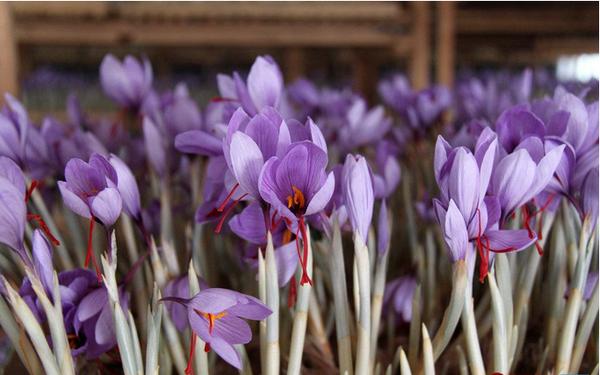 藏红花为健康生活保驾护航1