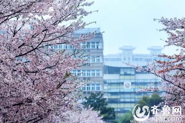 盘点国内赏樱胜地 青岛中山公园迎来最美樱花季