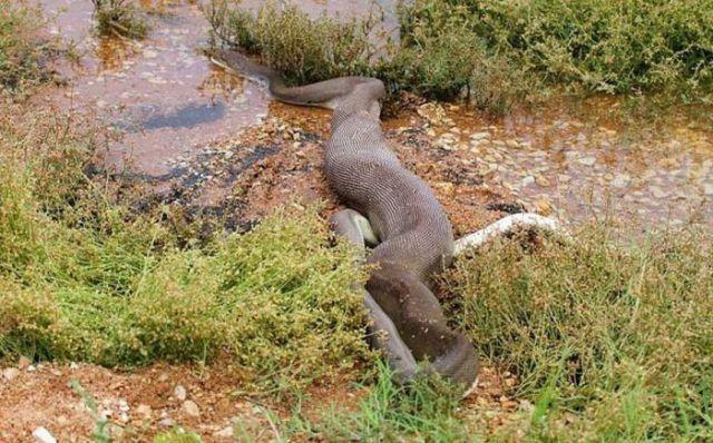 巨蟒大战食人鳄|史前巨鳄:最终章