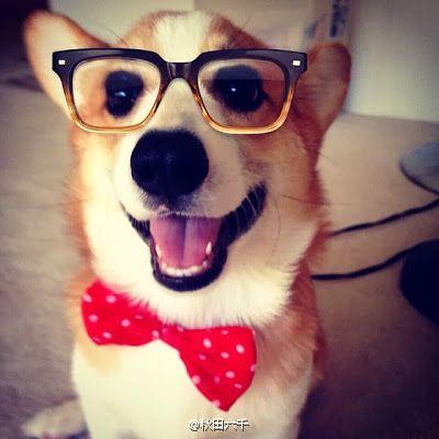 [萌宠]狗狗们戴上眼镜后英俊度立刻up了200%-手机凤凰