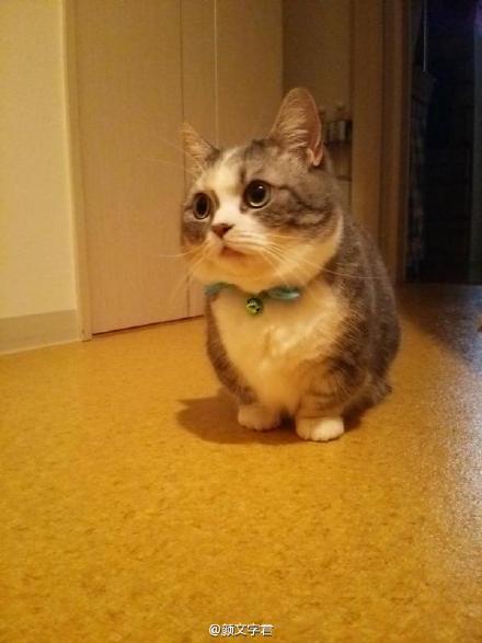 [萌宠]你肯定从未见过如此激萌可爱的小短腿喵