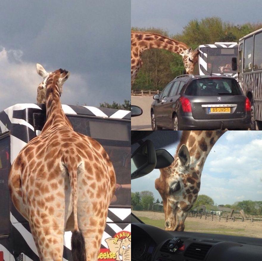 不忍见长颈鹿被关在动物园 网友神ps带它环游宇宙