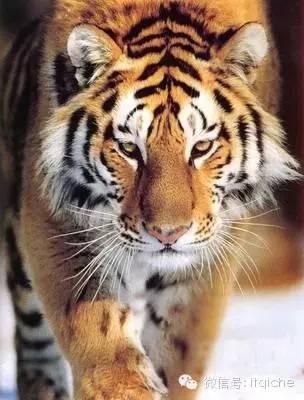 老虎动物名片大全图片