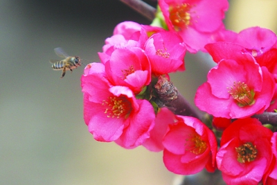 小蜜蜂在五彩海棠前转悠,准备采蜜.韩双 宋峤 摄图片
