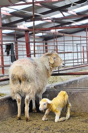 """世界上首例采用""""手工克隆""""技术获得的转基因绵羊日前"""