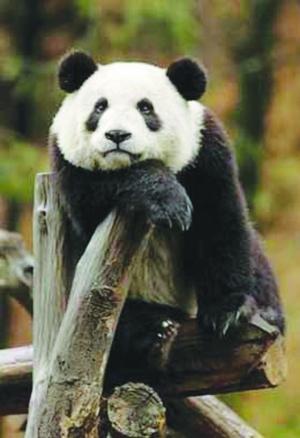 壁纸 大熊猫 动物 300_438 竖版 竖屏 手机