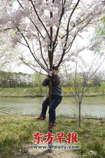 昨天顾村公园,时常可见小朋友攀爬树木或强扯花枝.