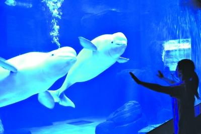 滚动新闻 > 正文   本报讯(记者王亚欣 通讯员刘斌)两头可爱的大白鲸