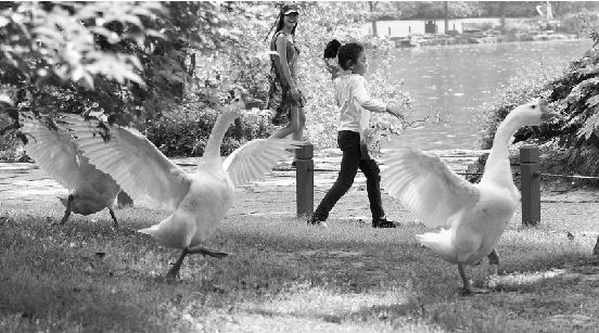 第二,放养在西湖里的白天鹅,要比动物园里的野多了,一旦把它惹怒了,很