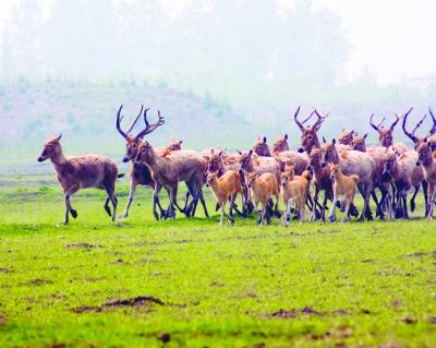 溱湖湿地一个月降生14头小麋鹿