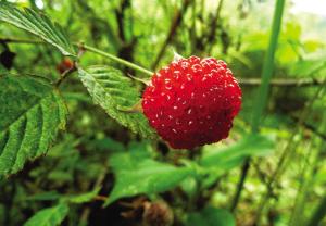 野草莓图片楚楚