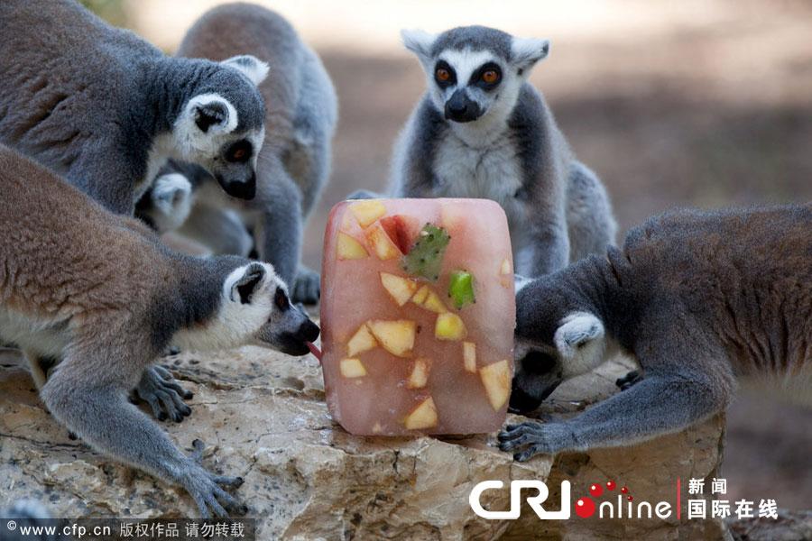 当地时间2012年7月12日,以色列拉玛干,safari动物园给动物喂食冰冻