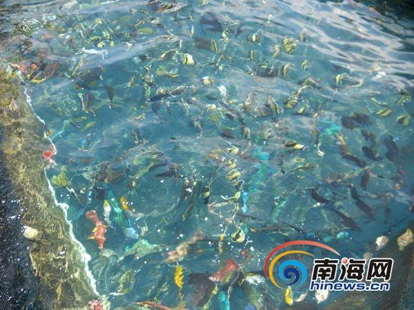 美济礁泻湖网箱养殖场内五颜六色的热带观赏鱼。(南海网特派记者高鹏摄)