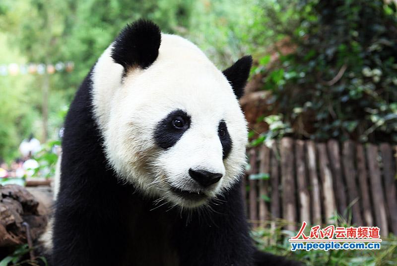芊芊的眼中也充满了不舍 摄影:李贵君 人民网昆明7月15日电 (记者李贵君)汶川地震期间寄养在昆明野生动物园的三只大熊猫芊芊、思嘉、美茜即将返回四川老家。7月15日,昆明野生动物园为7月16日第一只启程返乡的大熊猫芊芊举行告别仪式。很多喜欢大熊猫的市民专程赶来参加送别仪式,还有极为热心的市民为芊芊带来了礼物,并与芊芊合影。据了解,7月16日芊芊回四川后,思嘉和美茜也将会在8月底回家。 【延伸阅读】