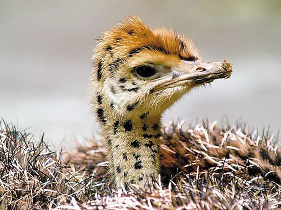 世界体型最大的鸟类是非洲鸵鸟,排第二位是澳洲鸵鸟,位居第三是鹤鸵.