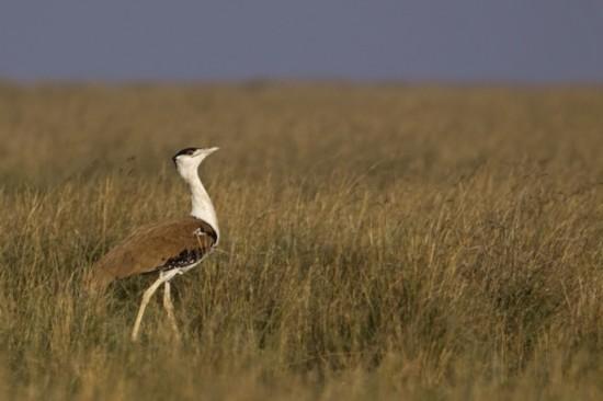 大鸨曾经是极为常见的鸟类,但现在在印度北部仅存250只.-警惕
