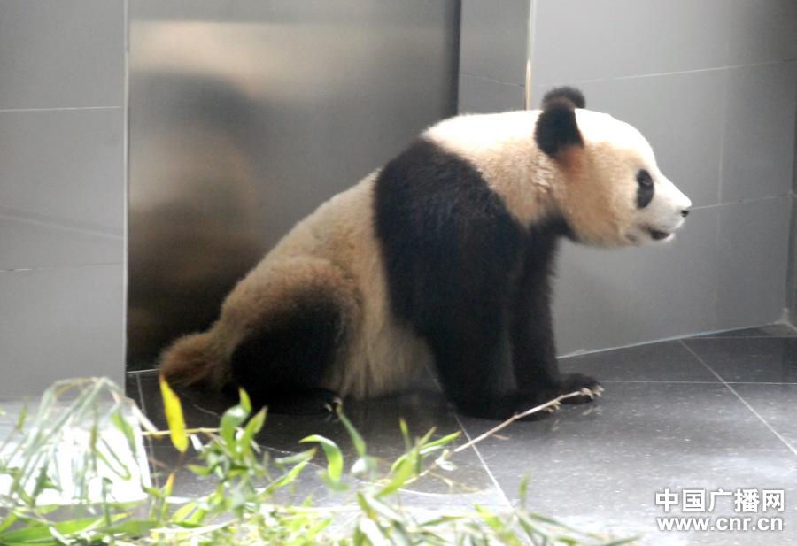 三只大熊猫空降大连森林动物园 29日与市民见面