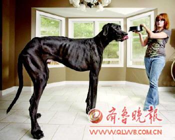 【最高狗狗】  近日,2013版世界吉尼斯纪录出炉,图为来自美国密歇