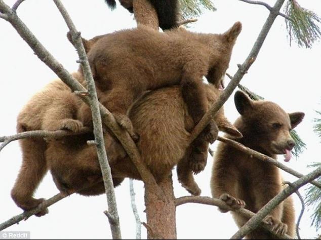 另据英国《都市报》8月31日报道十多只浅棕色和深棕色的熊崽爬到一棵高树的顶部,荡秋千般摇摆着玩闹。这一图片最近被重新上载到美国社交新闻网站Reddit上并火了起来,引起网友的关注。 一个打趣的网友评论道它们想在树上玩蹦床吗?快把它们扔到蹦床去吧 还有的网友评论说有人想知道这些熊是发生了什么?它们是以为自己是鸟吗? 爬树是幼熊必须掌握也是最早从熊妈妈身上学会的生存技能之一。熊通常是在遇到威胁的情况下才爬到树上,但有时爬树也有可能是在寻找食物。