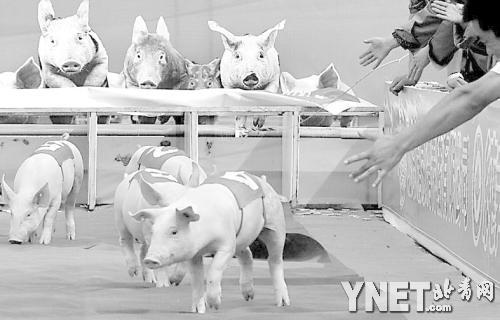 可爱的小猪们在背上贴上了运动员的编号,待比赛开始的发令枪一响,可爱