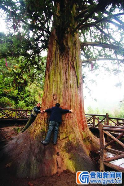 像这样的古树,如今在习水县还有数千株